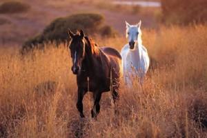 wild horses brown white
