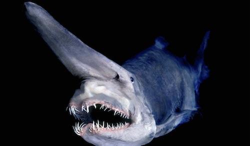 gobble sharky